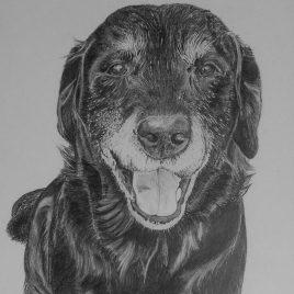 Bogarde the Labrador